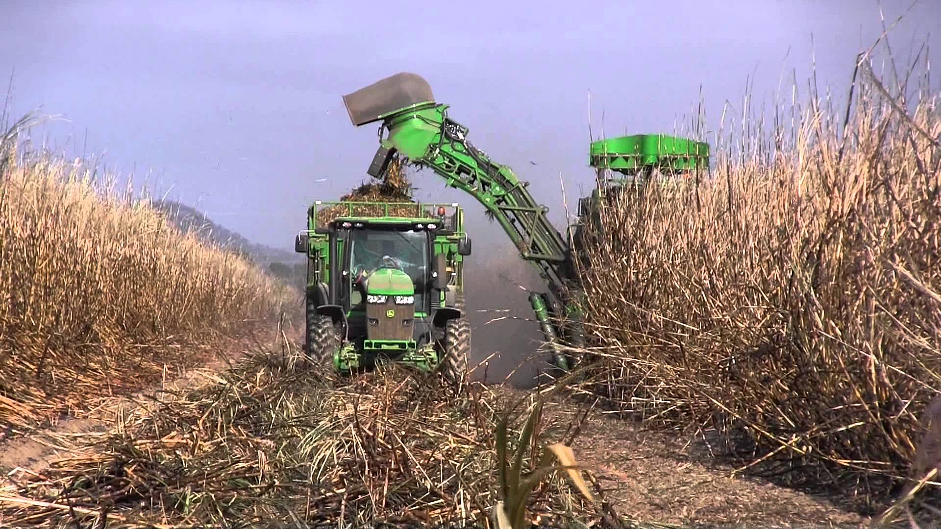 How to Harvest Sugar Cane How to Harvest Sugar Cane new picture