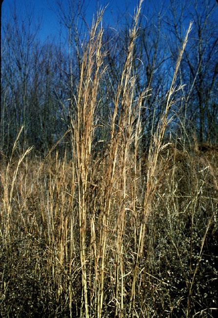 broomsedge bluestem andropogon virginicus