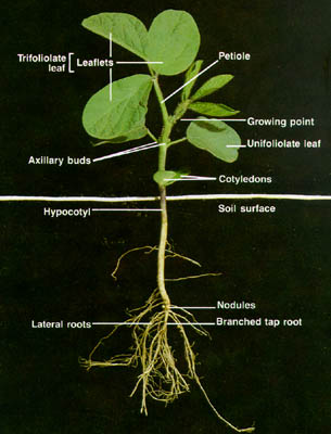soybean growth and management