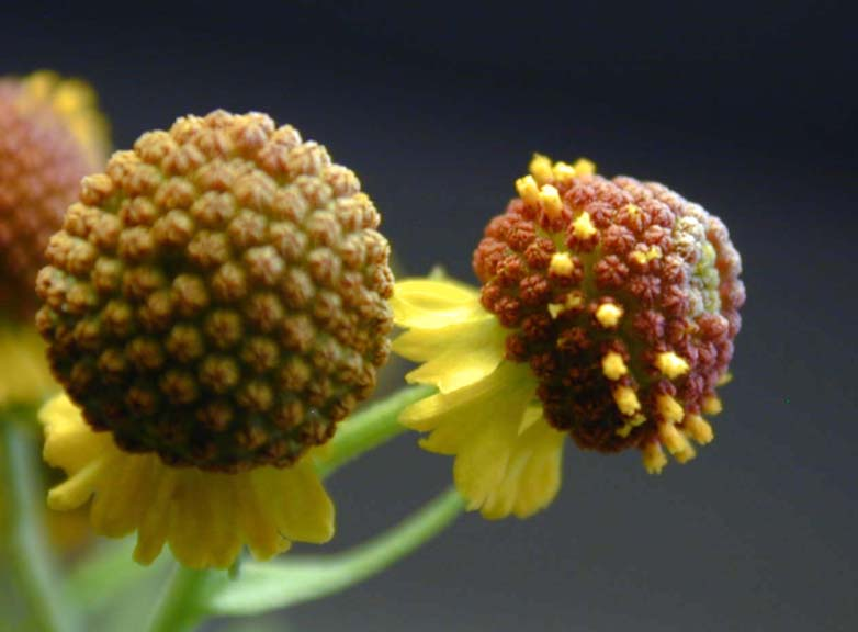Research Amp Extension Center Virtual Herbarium Smallhead